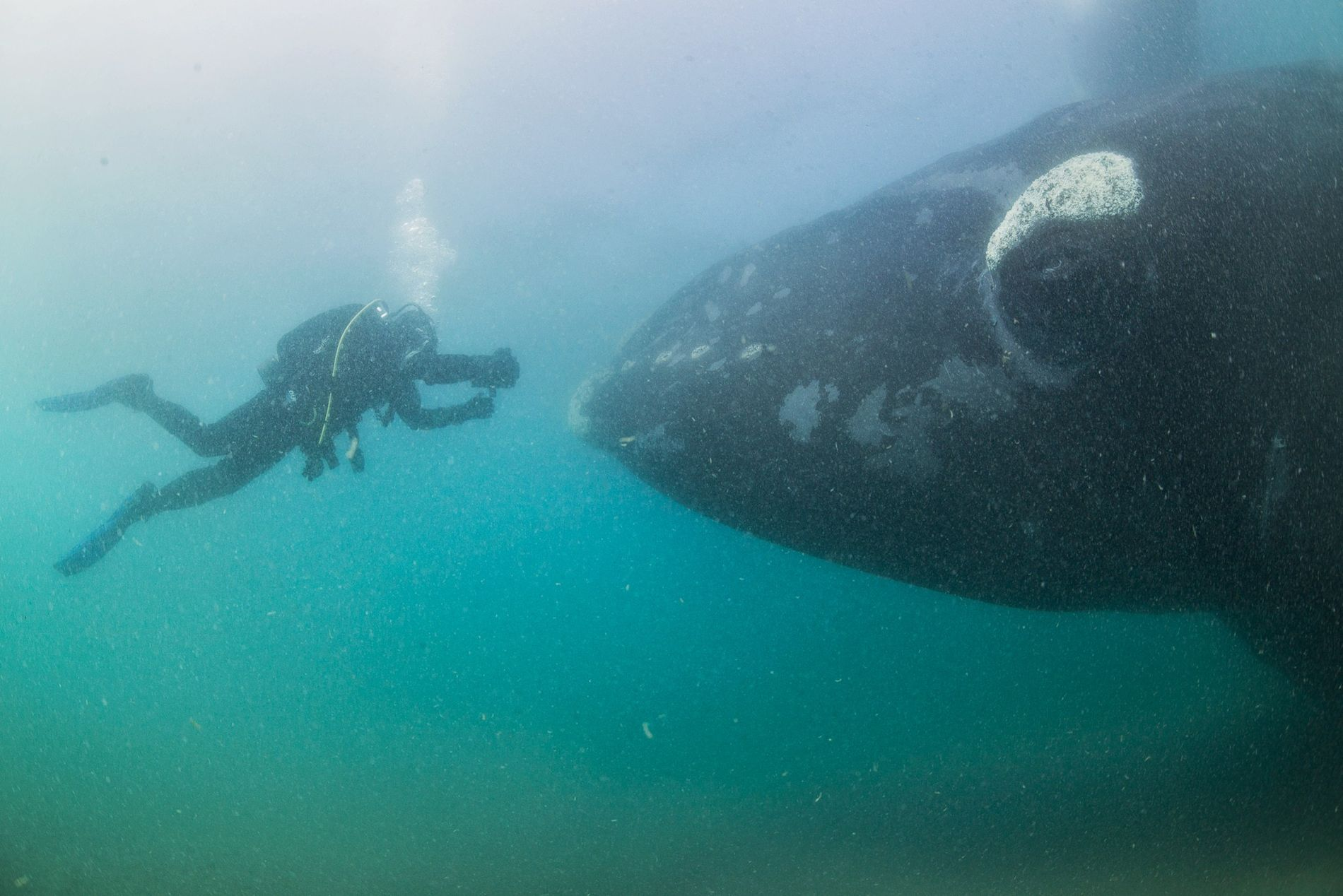 Astonishing Images of Southern Right Whales