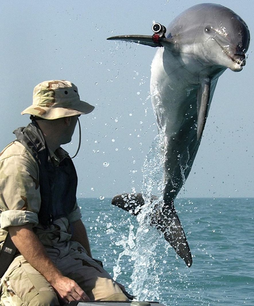 K-Dog, a Bottle Nose Dolphin, leaps out of the water in front of Sgt. Andrew Garrett ...