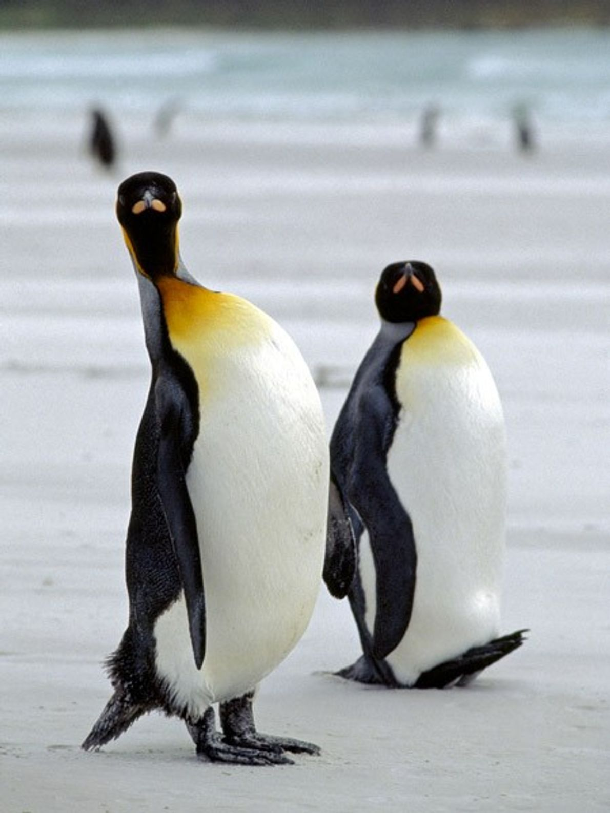 King penguins' flippers are distinctively large, helping them dive deep in the icy ocean. On land, ...