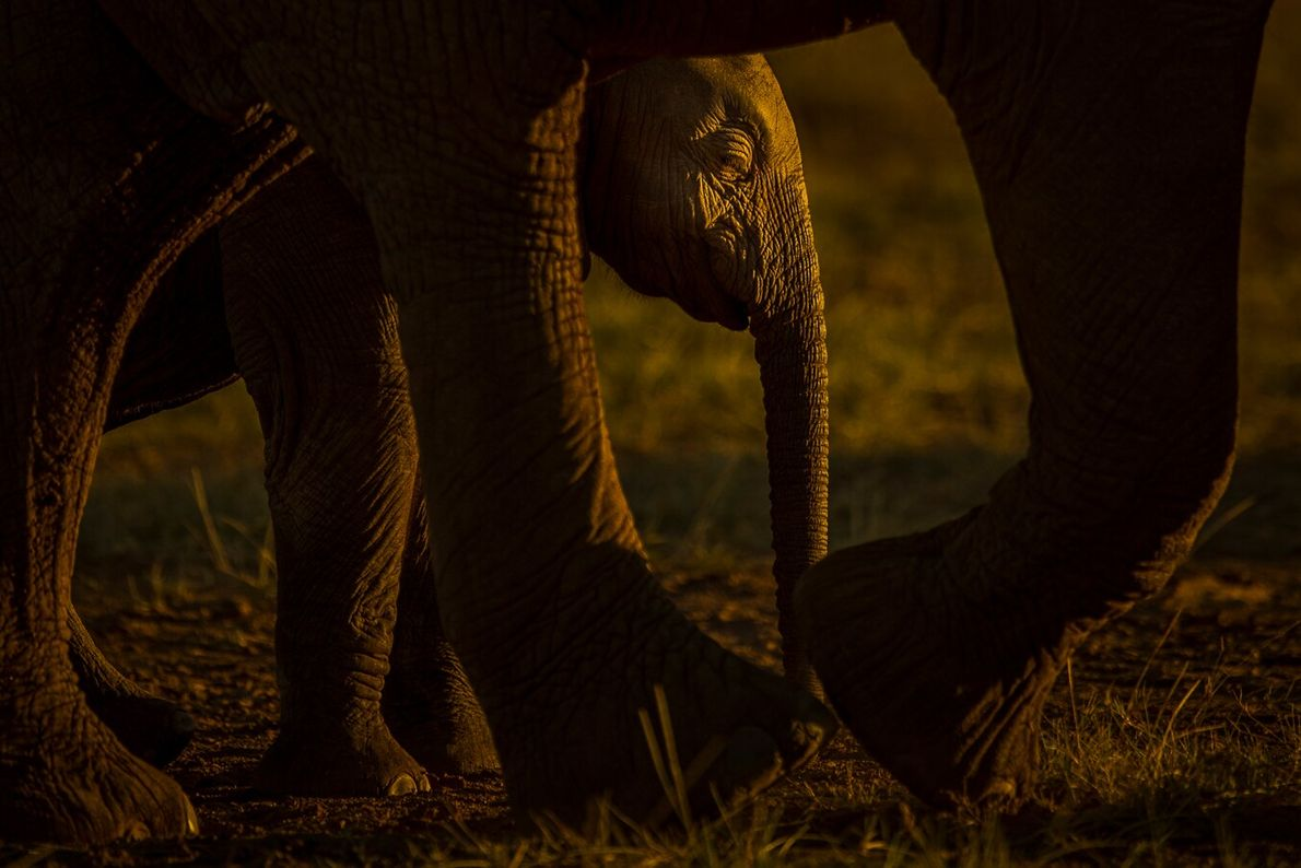 Conservation photographer Tom Svensson took this sunset image of a young elephant with its mother in ...