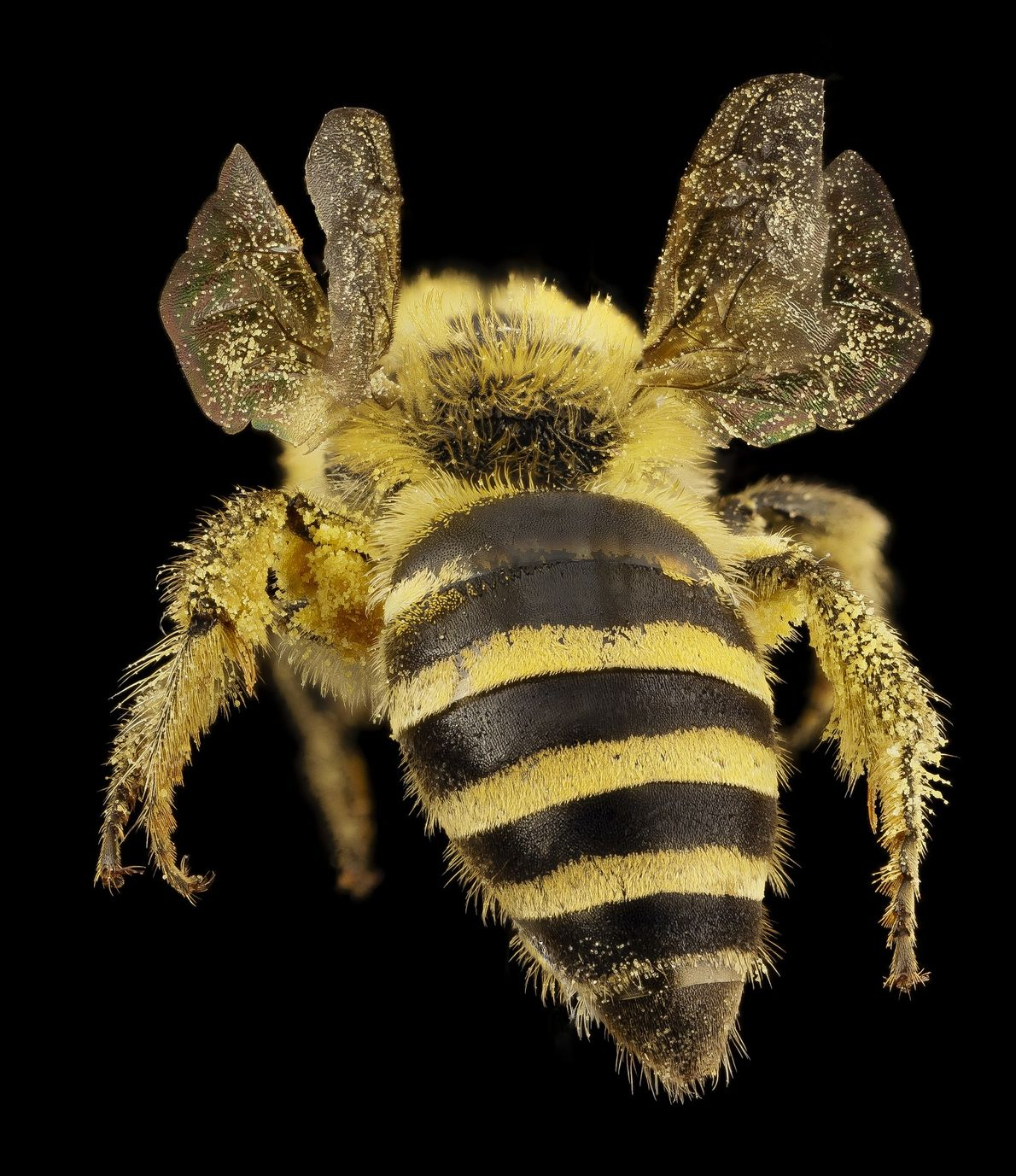 This species Colletes hederae is native to England and is a specialist on ivy.
