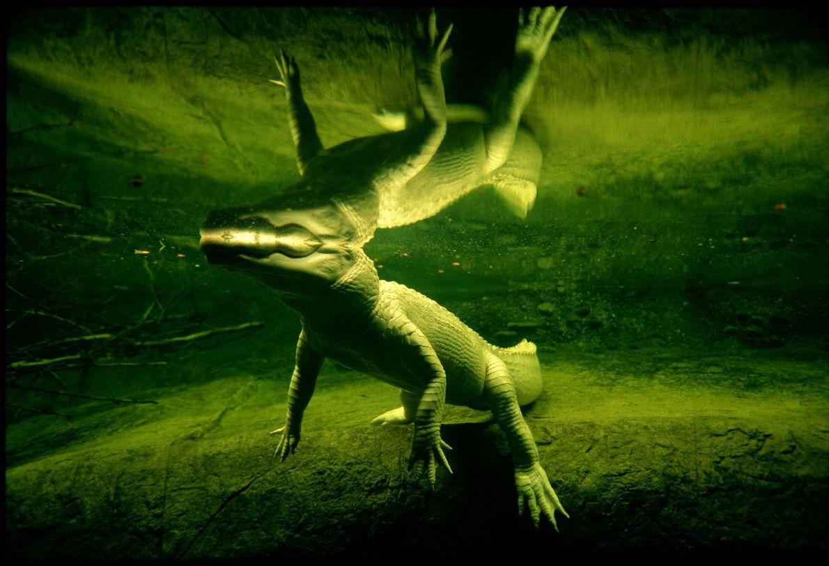 A rare white alligator swims in New Orleans, Louisiana. The Audubon Aquarium of the Americas< estimates ...