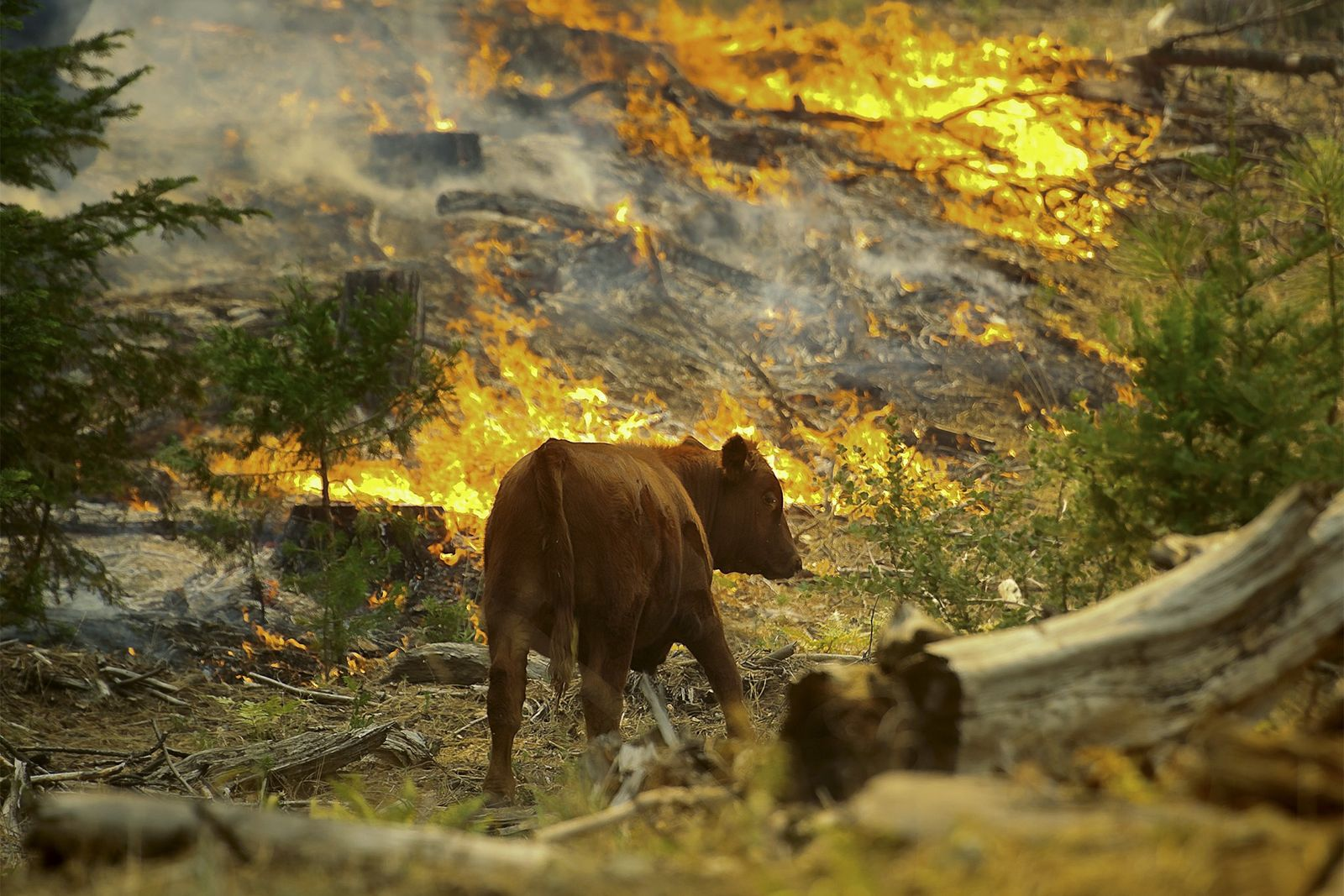 A cow walks by flames from the Rim fire near the Yosemite National Park border in ...