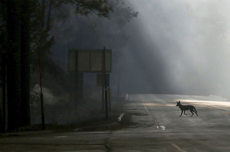 A coyote walks across U.S. Highway 120, shut down due to the Rim fire near Groveland, ...