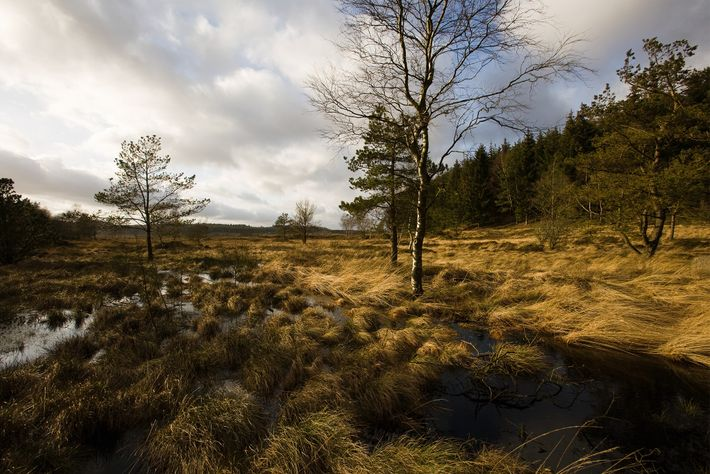 A small part of the bog remains where Tollund Man was found on Denmark's Jutland Peninsula.