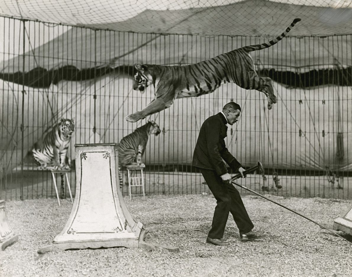 Tiger-taming acts have been a favorite at circus events since the 18th century.