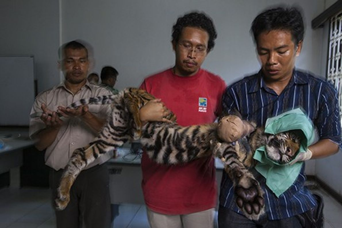 This tiger cub was caught in a wire snare for four days before it was found ...
