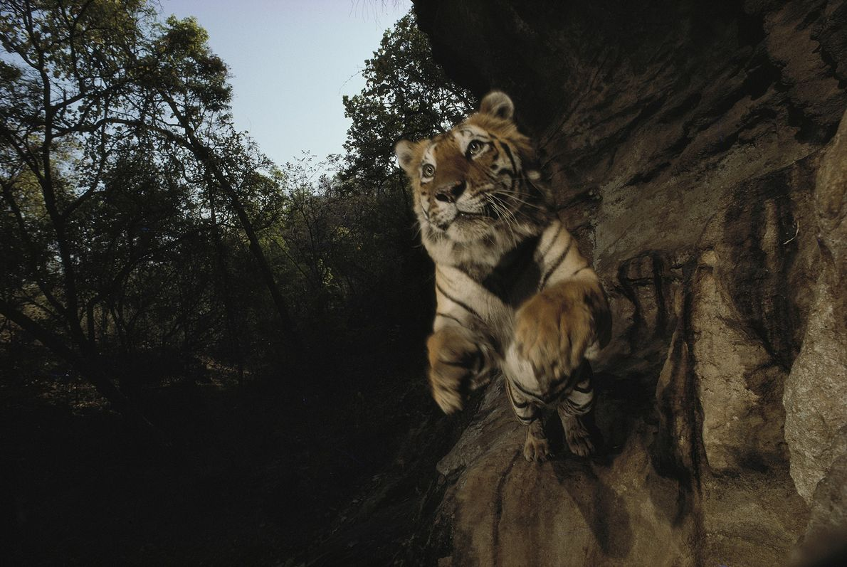 Bengal tigers like this one are found in the jungles and mangrove swamps of India, Nepal, ...