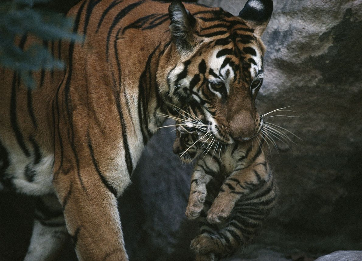 Tigers once prowled across huge swaths of Asia, from Turkey to Russia to Indonesia. Today the ...