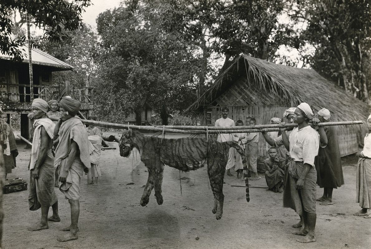 A tiger is carried by Burmese villagers in 1922 after it was killed following an attack ...