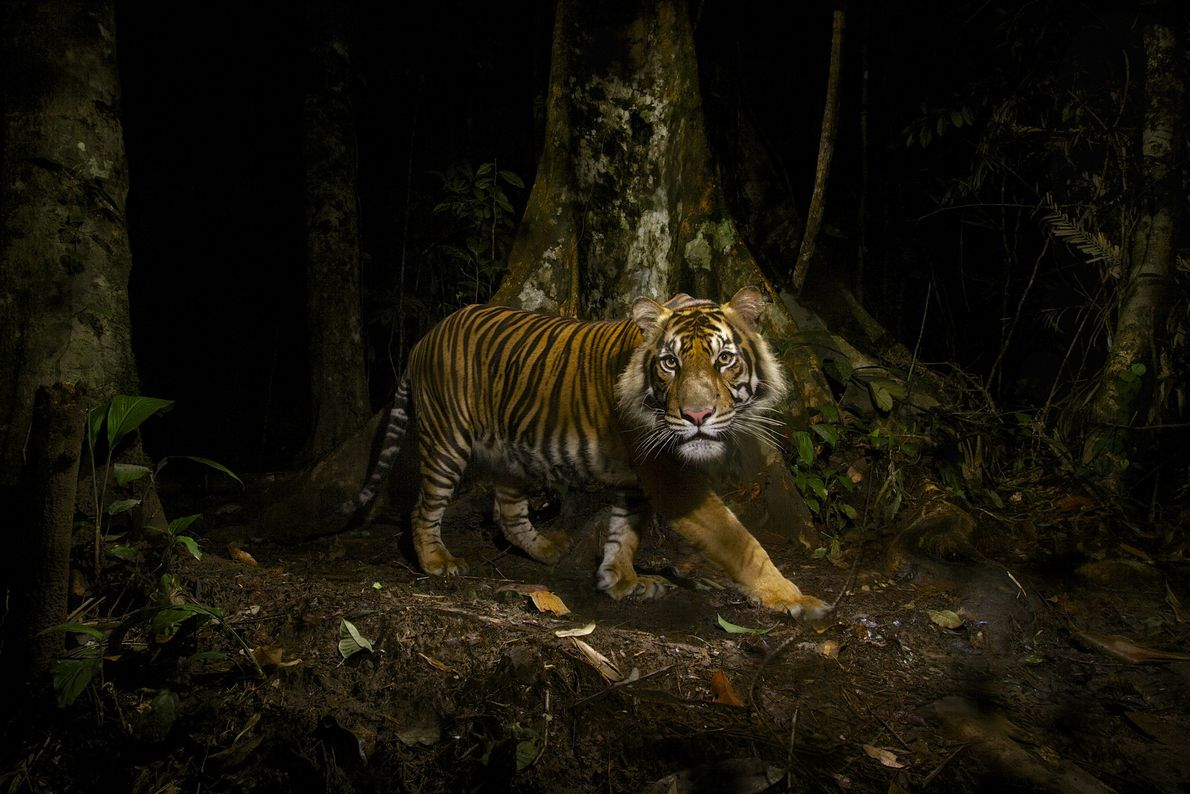 The main threats to tiger populations stem from habitat loss, poaching, and competition with humans for ...