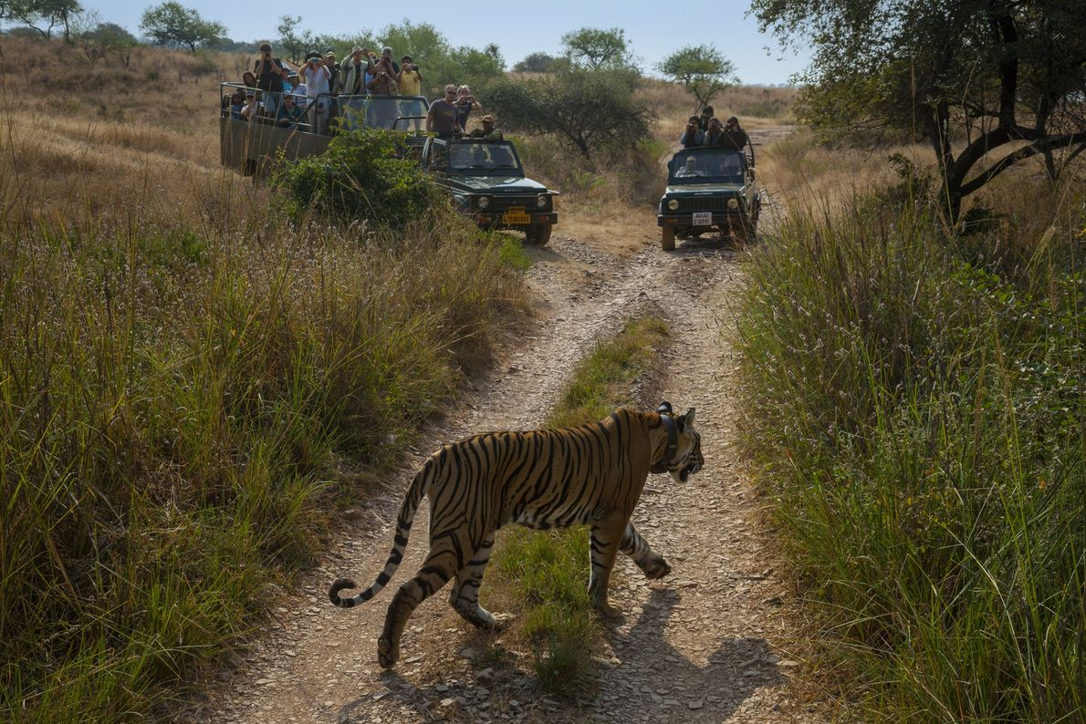 Many tourists flock to parks—such as Ranthambore National Park in India—in the hope of catching a ...