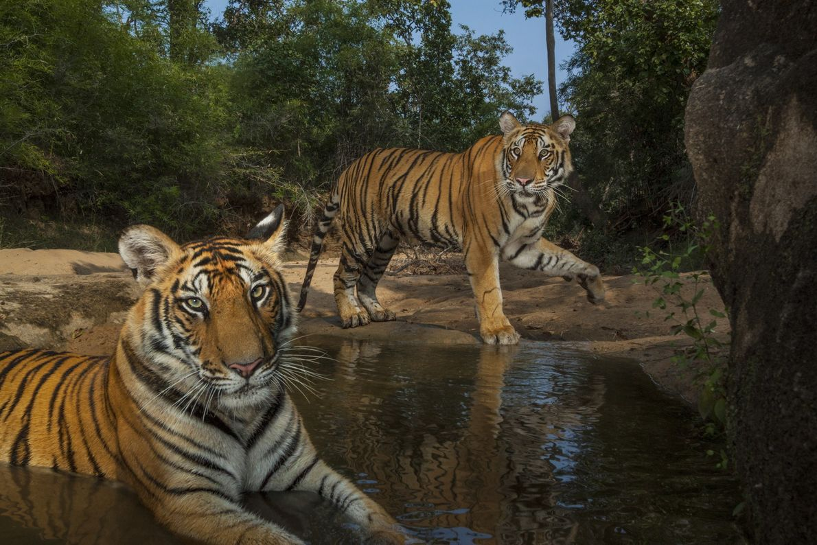 National Geographic photographer Steve Winter used a camera trap to captured this image of 14-month-old tiger ...