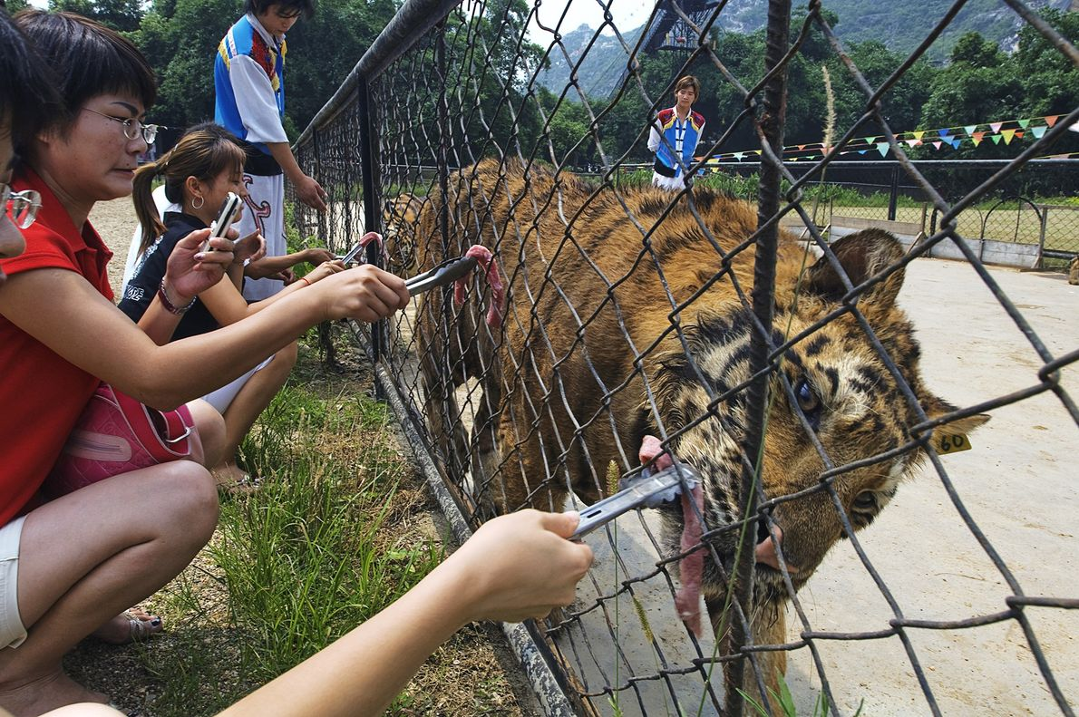 A tiger is fed by tourists at a zoo in Guilin, China. More tigers are held ...