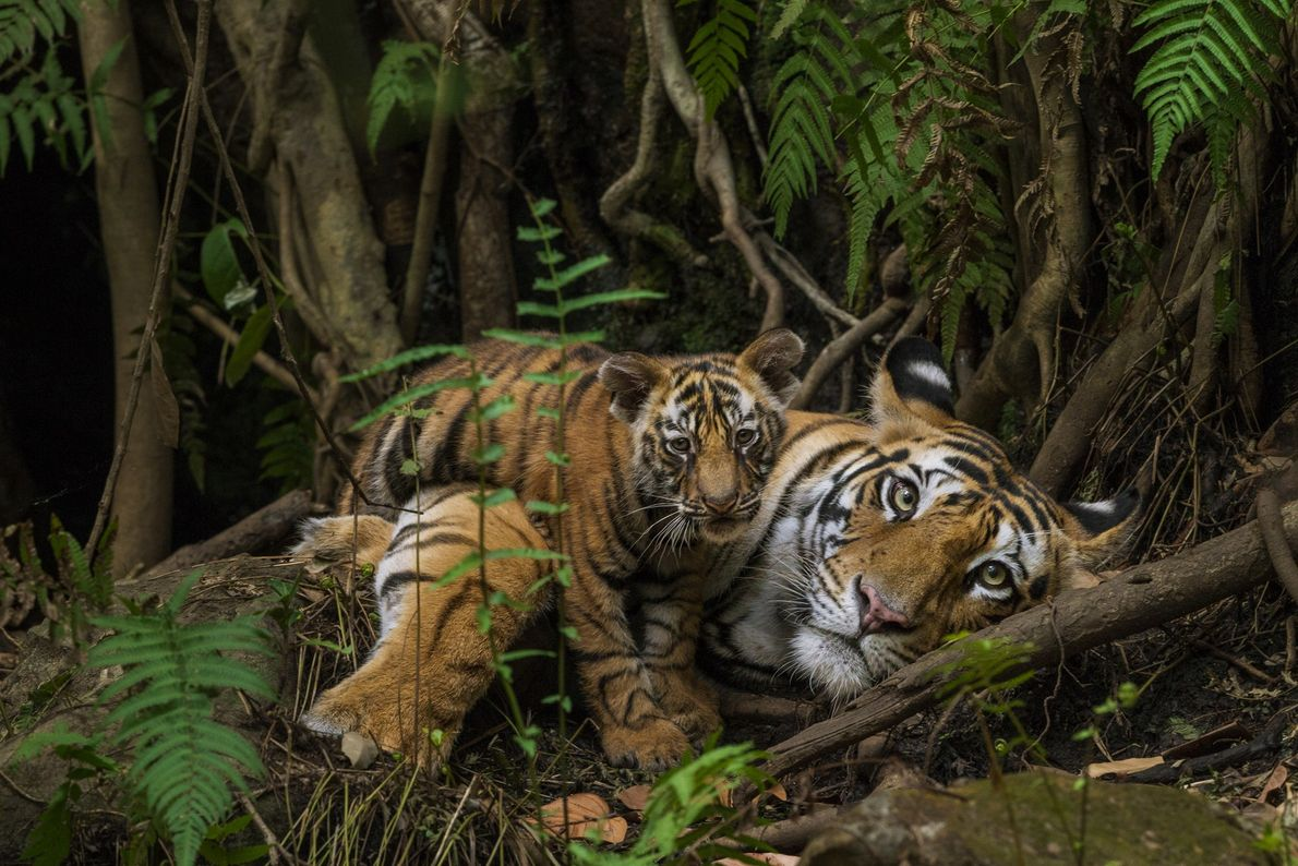 Winter captured this intimate moment between a tiger mother and her cub using a long-lens camera ...