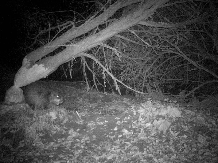 The beaver seen here, at night along the River Otter, is thought to be the only ...