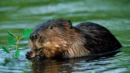 Beavers Are Mysteriously Back in Britain—but Not Entirely Welcome