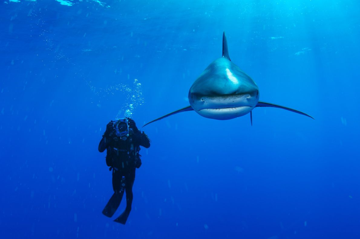 An oceanic whitecap shark near the Bahamas passes a diver and looks right into the camera.