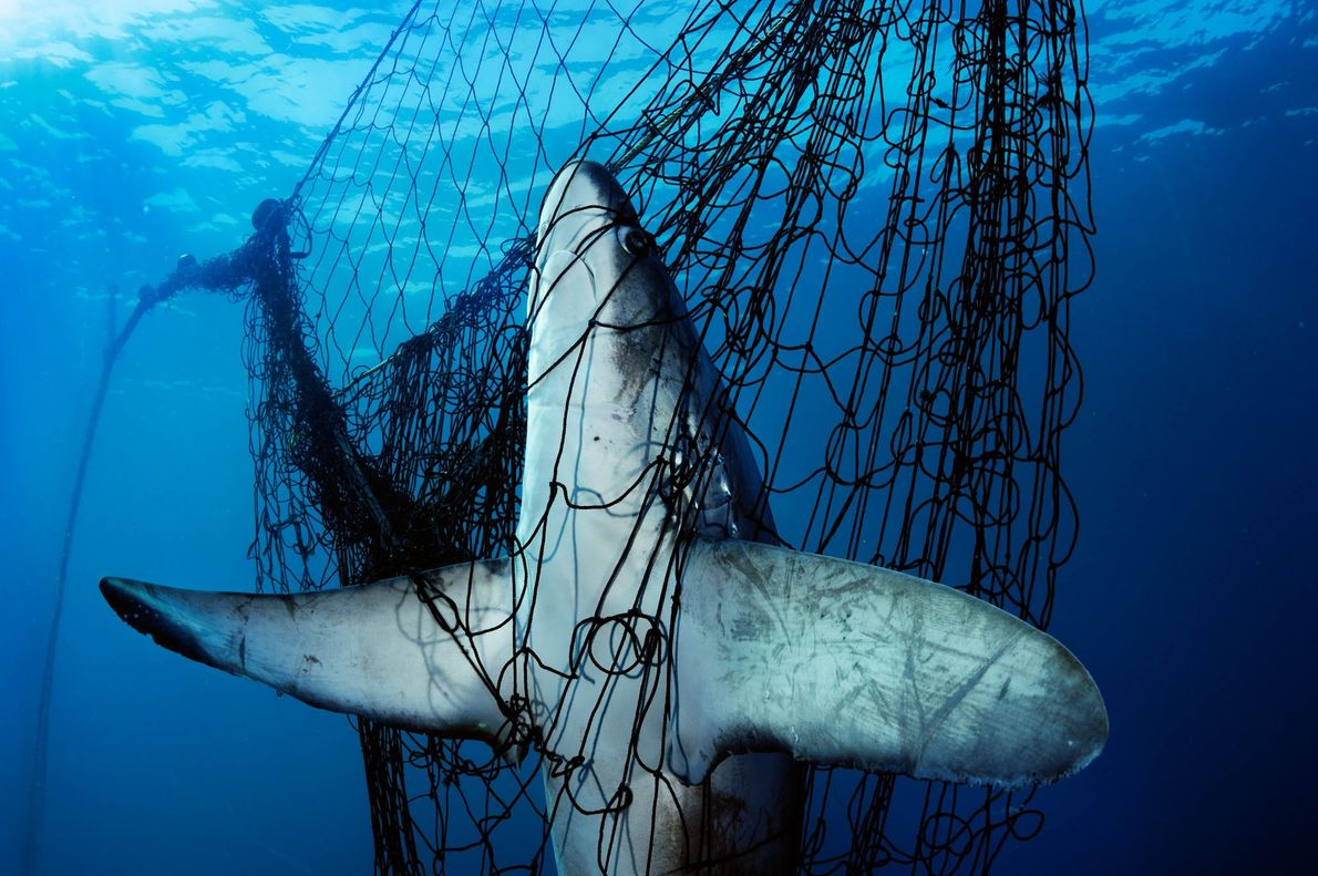 This is the unlucky victim of abandoned fishing gear called ghost nets.