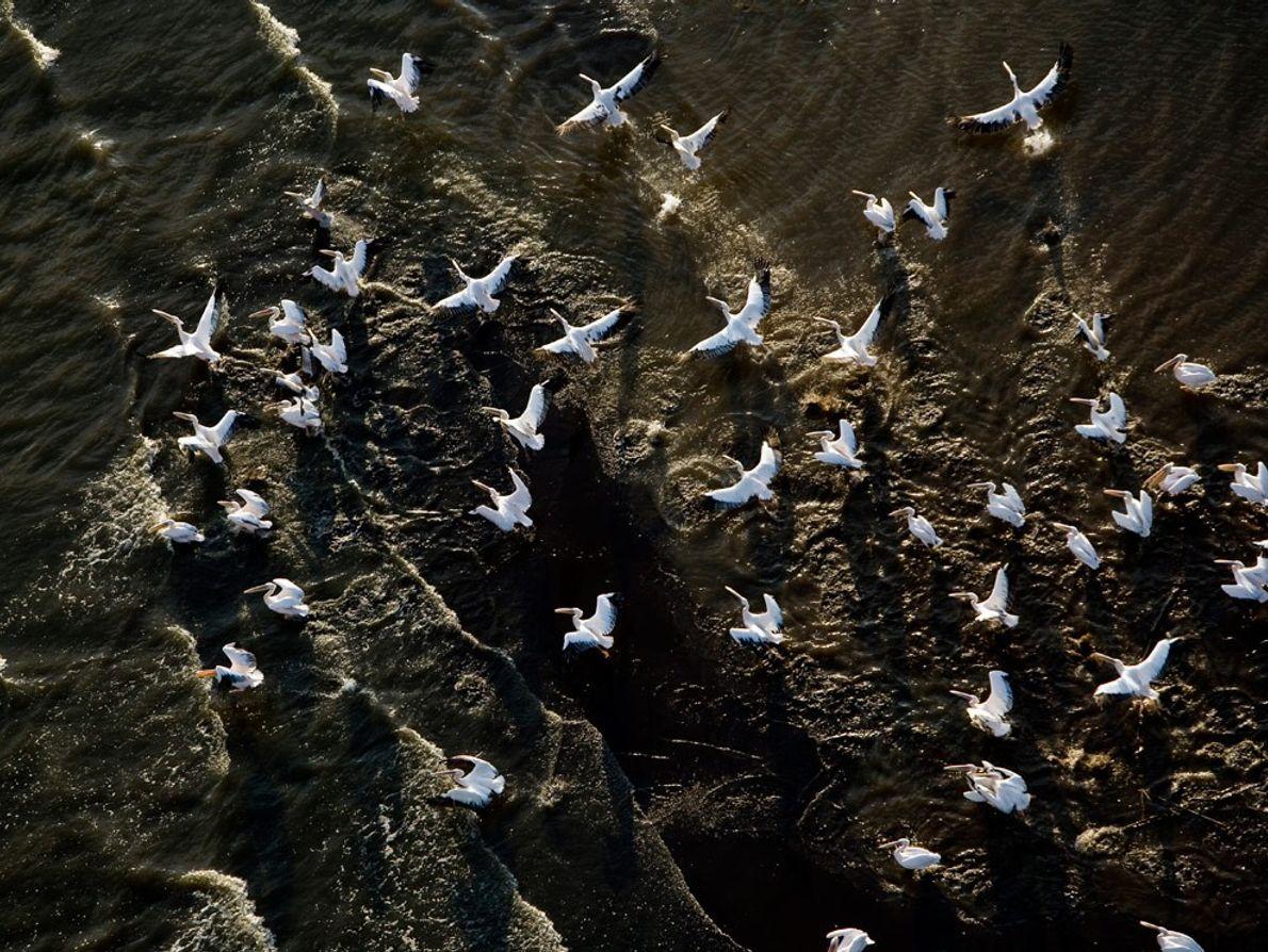 Pelicans Over Lake Chamo