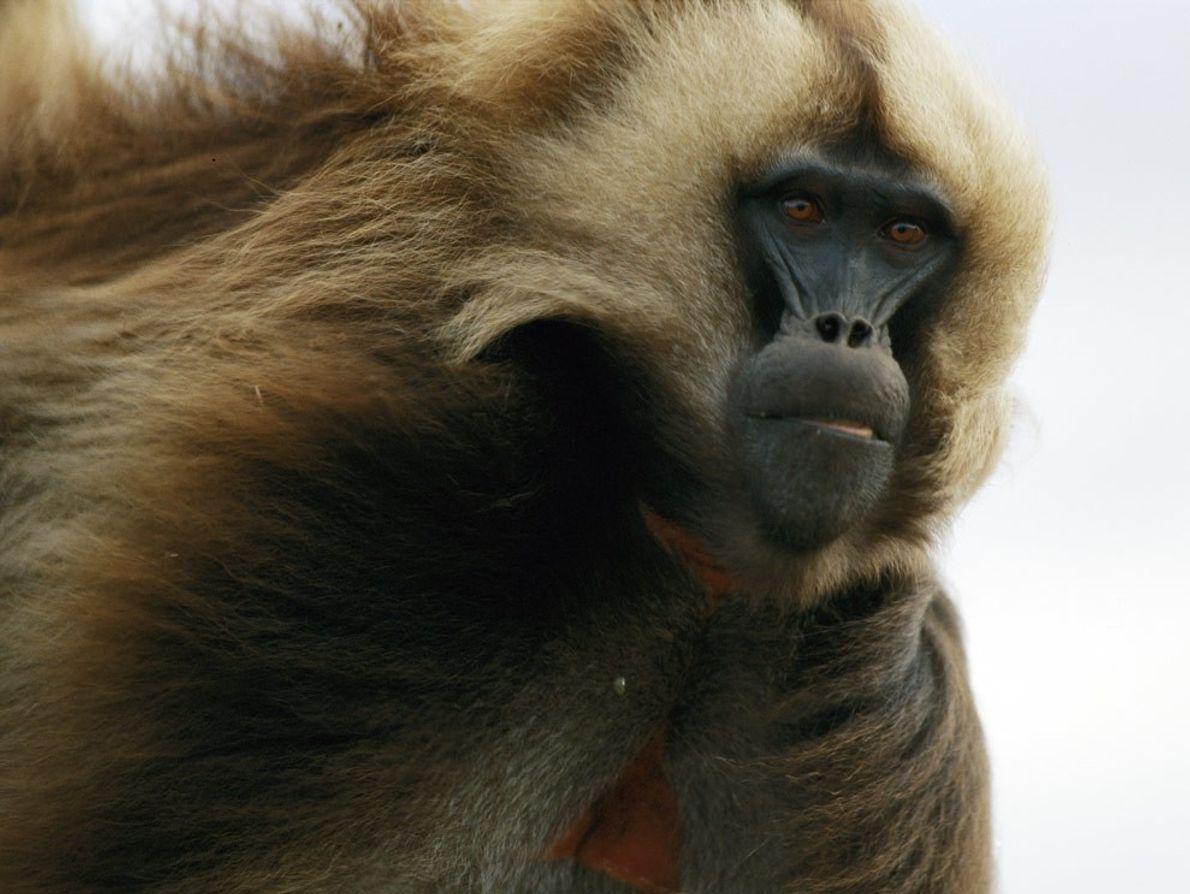 Photo: Close-up of a male gelada monkey