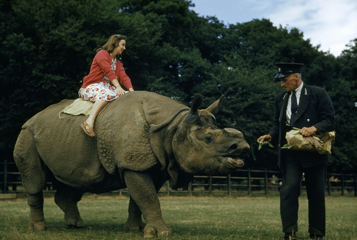 At a London zoo in the 1950s, a zookeeper feeds peas to a rhino carrying a ...