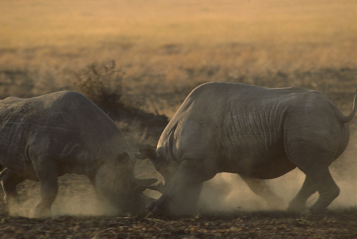 Critically endangered black rhinoceroses fight at the Maasai Mara National Reserve in Kenya in 2008. Kenya ...