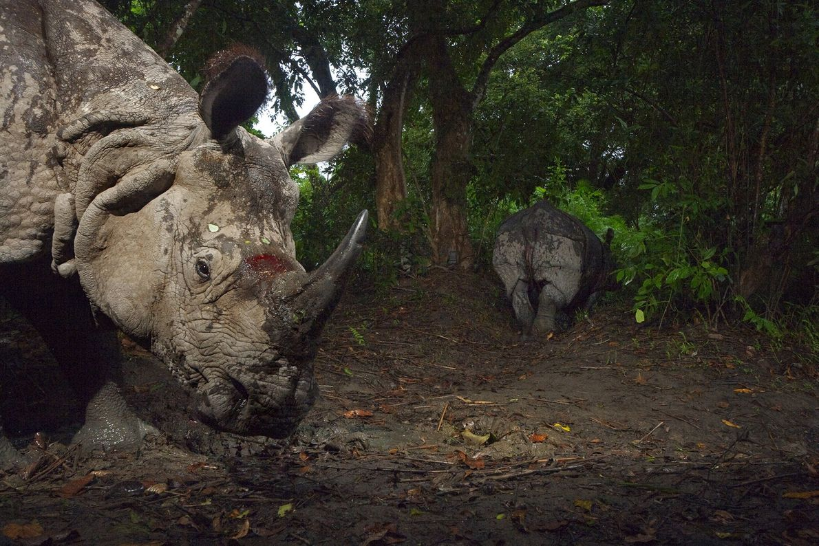 A greater one-horned rhinoceros follows a companion in Kaziranga National Park, in India, in 2007. Once ...