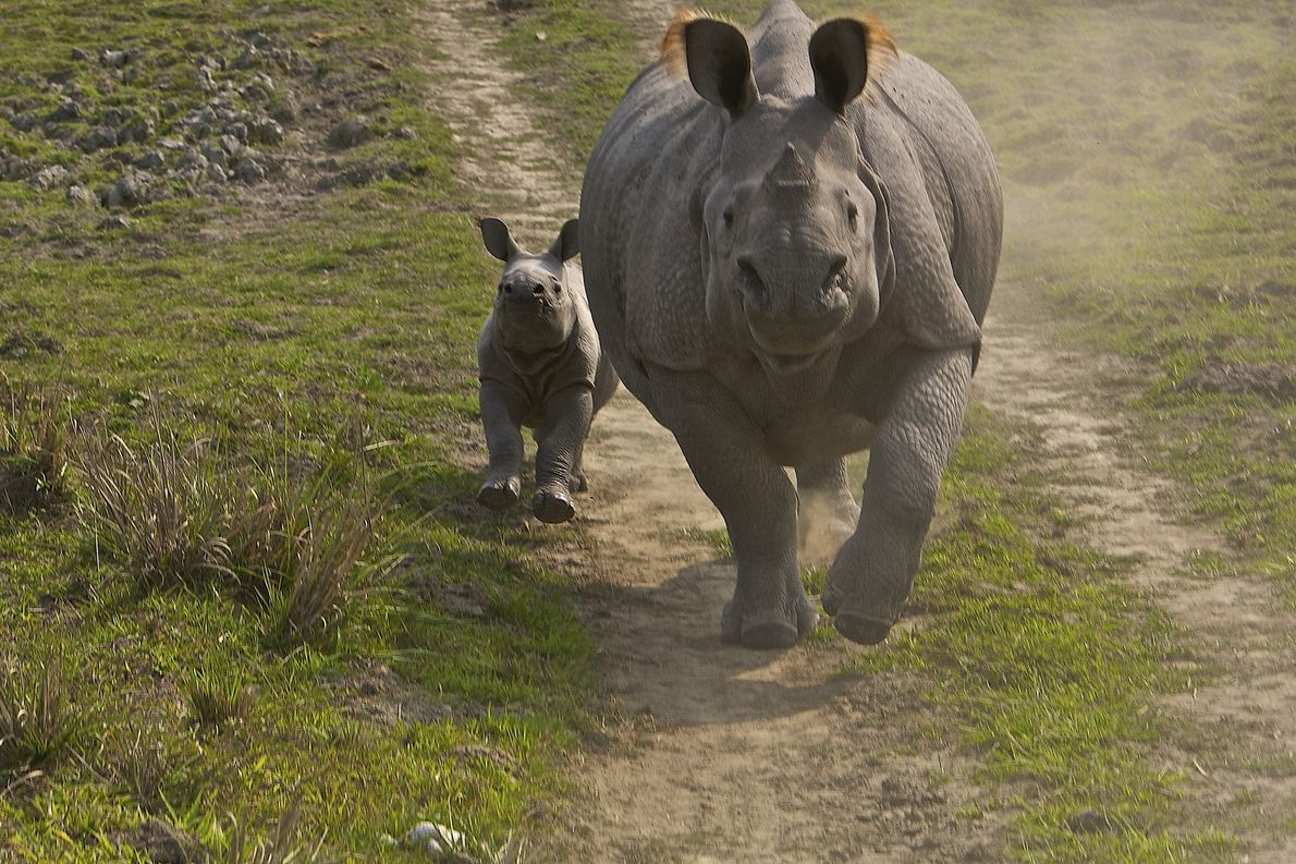 A greater one-horned rhinoceros and her calf run along a path in Kaziranga National Park, India, ...