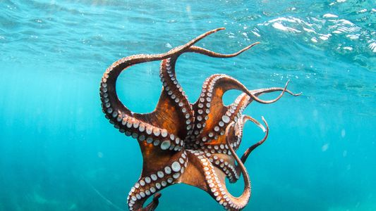 Beautiful Octopus Pictures: Masters of Disguise and Agile Hunters