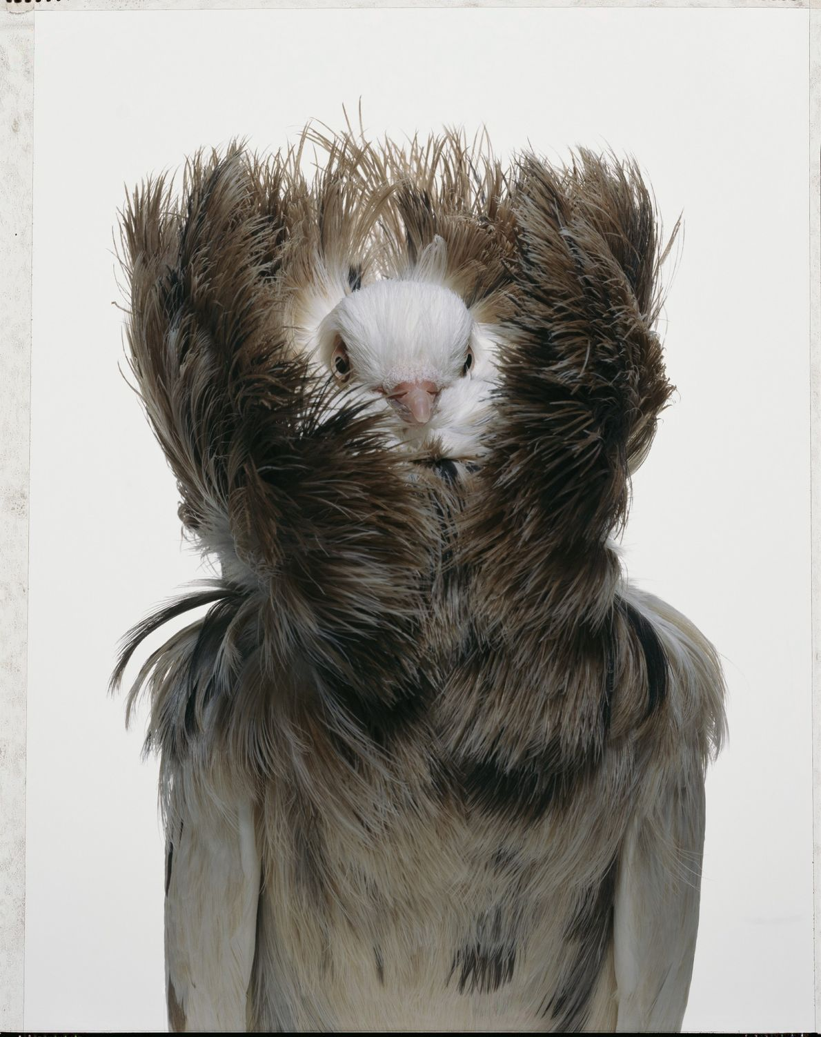 The Jacobin pigeon is one of approximately 350 breeds of domesticated pigeon around the world. Most ...