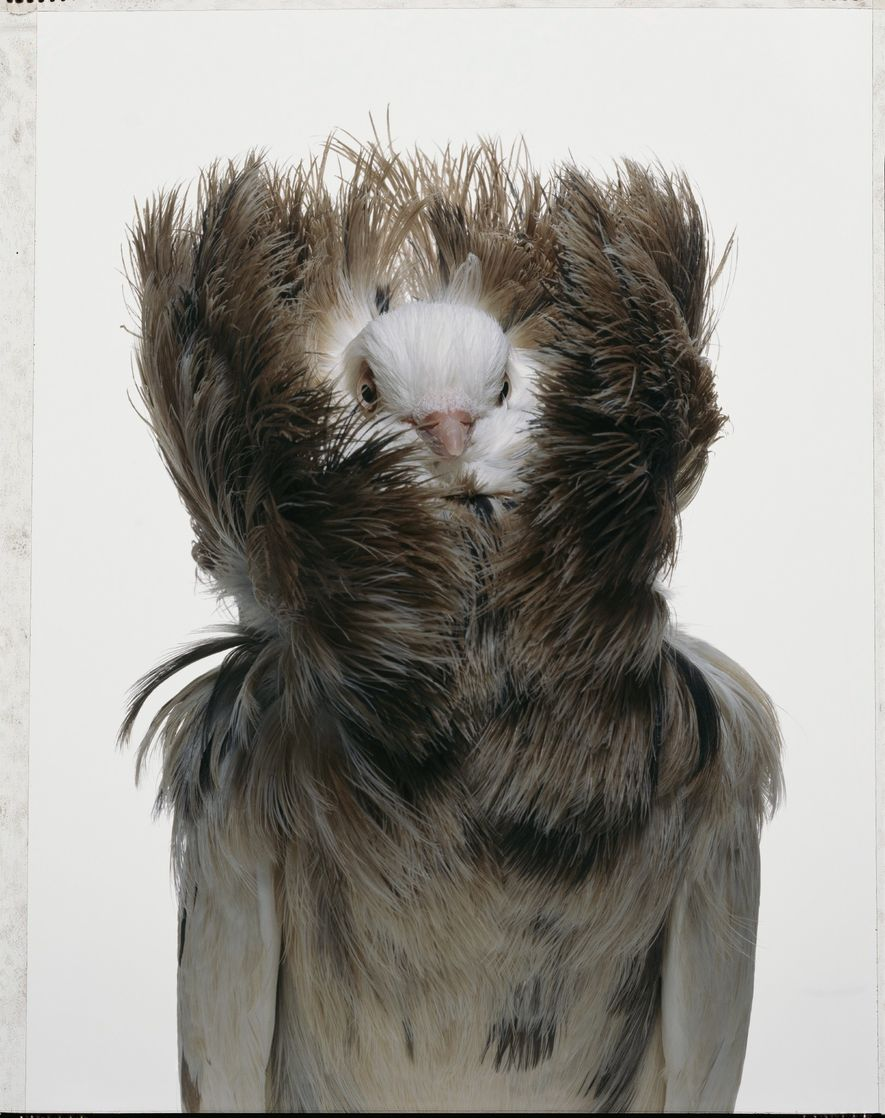 The Jacobin pigeon is one of approximately 350 breeds of domesticated pigeon around the world. Most …