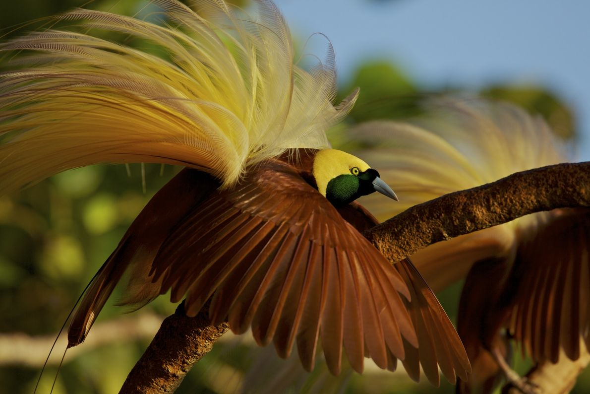 A male greater bird of paradise poses in the hope of attracting a female in the ...