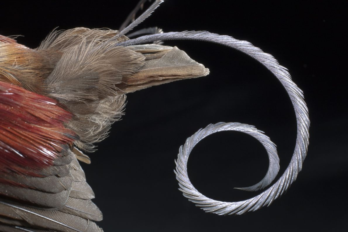 An adult male Wilson's bird of paradise shows off modified, wire-like tail feathers shaped like sickles. ...