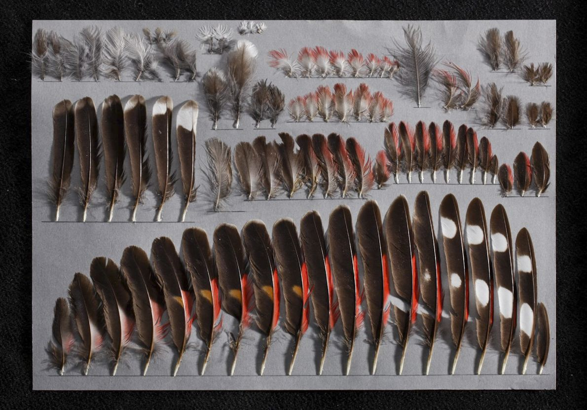 The mounted feathers from the left side of a young male wallcreeper are part of the ...