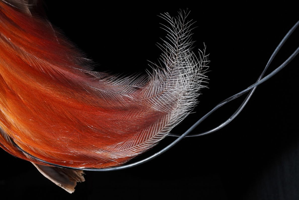 In life, a male red bird of paradise would display his tail feathers (pictured) in a ...