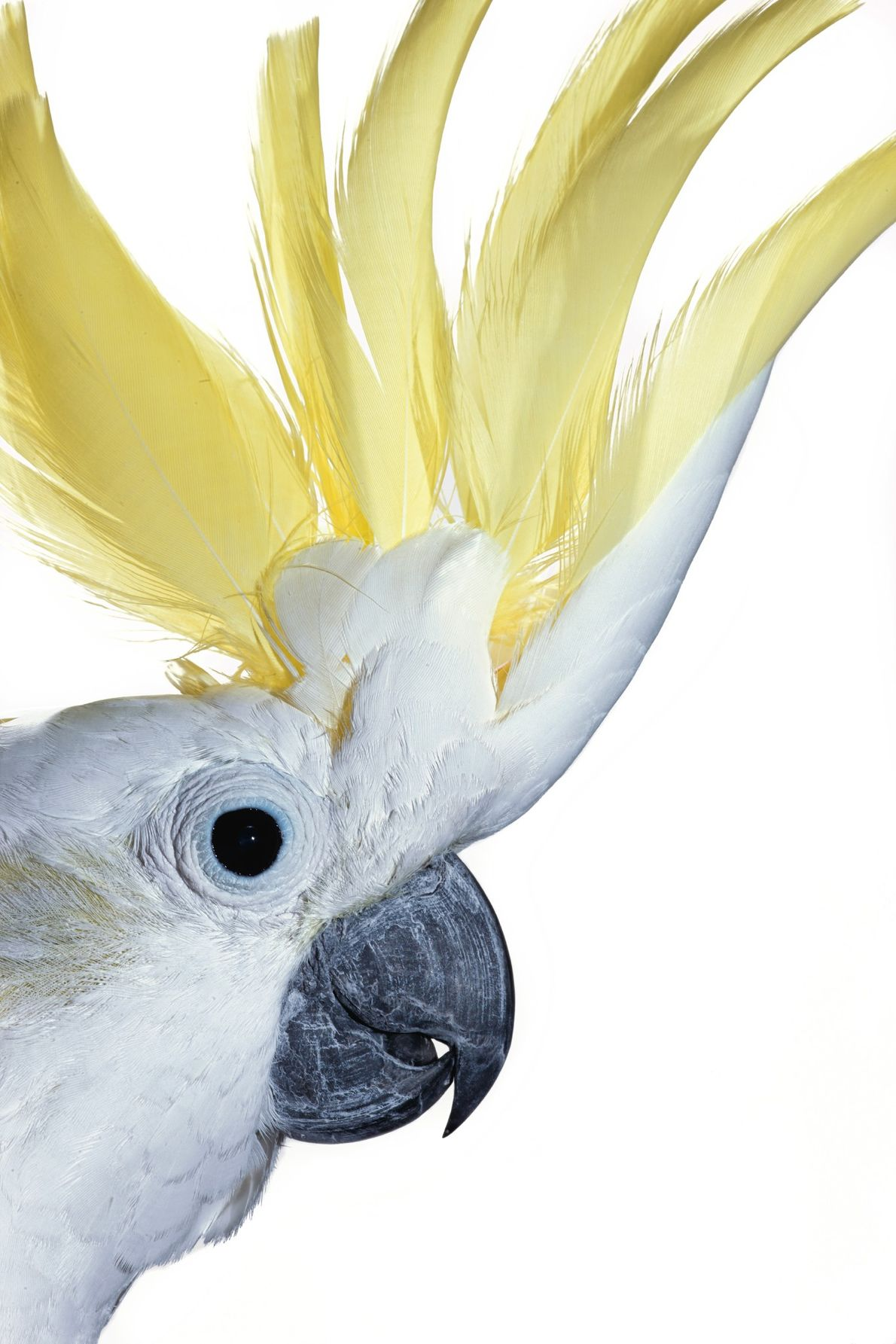 A sulphur-crested cockatoo unfurls its Mohawk to reveal delicate yellow feathers underneath. The species garnered internet ...