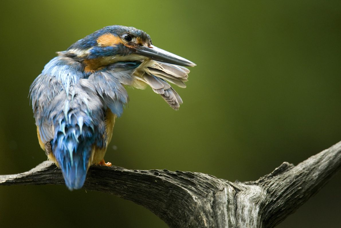 A male common kingfisher must pay close attention to the condition of his multicoloured plumage. These ...