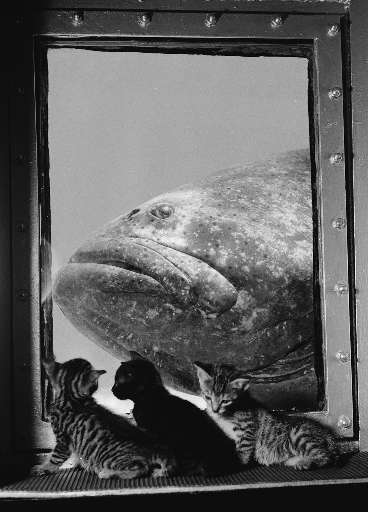 Three kittens cuddle in front of a giant fish tank, eyeing a very large grouper, at ...
