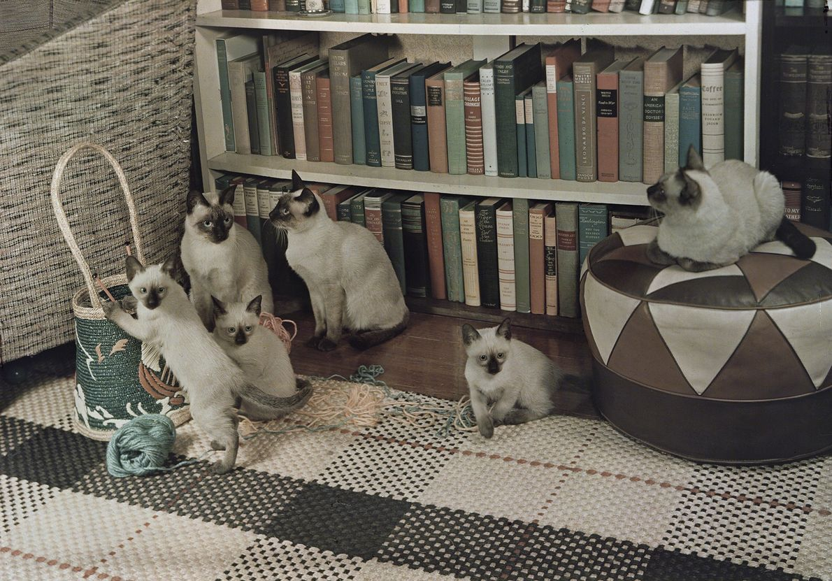 Siamese cats gather in their owner's Washington, D.C., living room, drawn by kittens playing with a ...