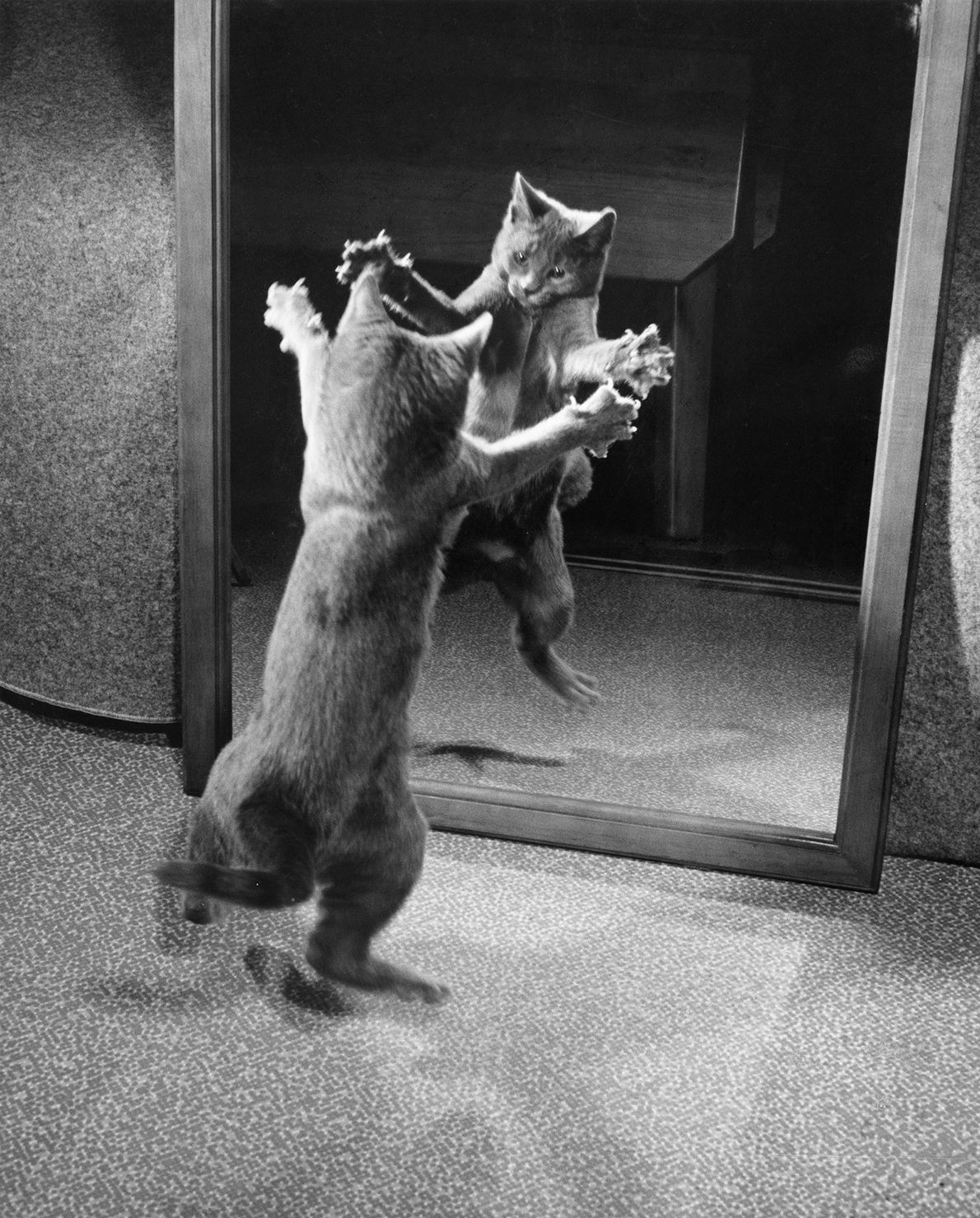 A cat protects its territory by attacking its reflection, seen in this photo from a 1964 ...