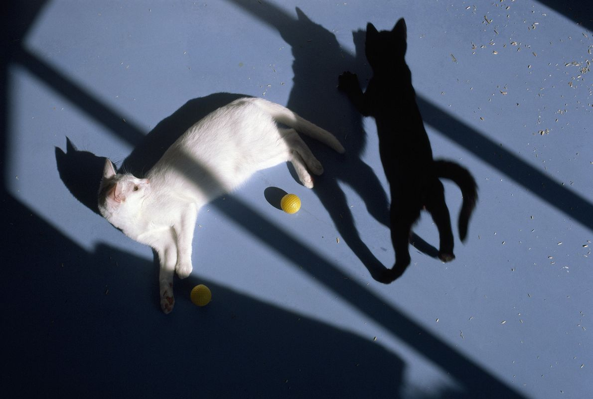 One cat relaxes while another plays in the shadows at Carnation's Feline Nutrition Center outside Seattle, ...