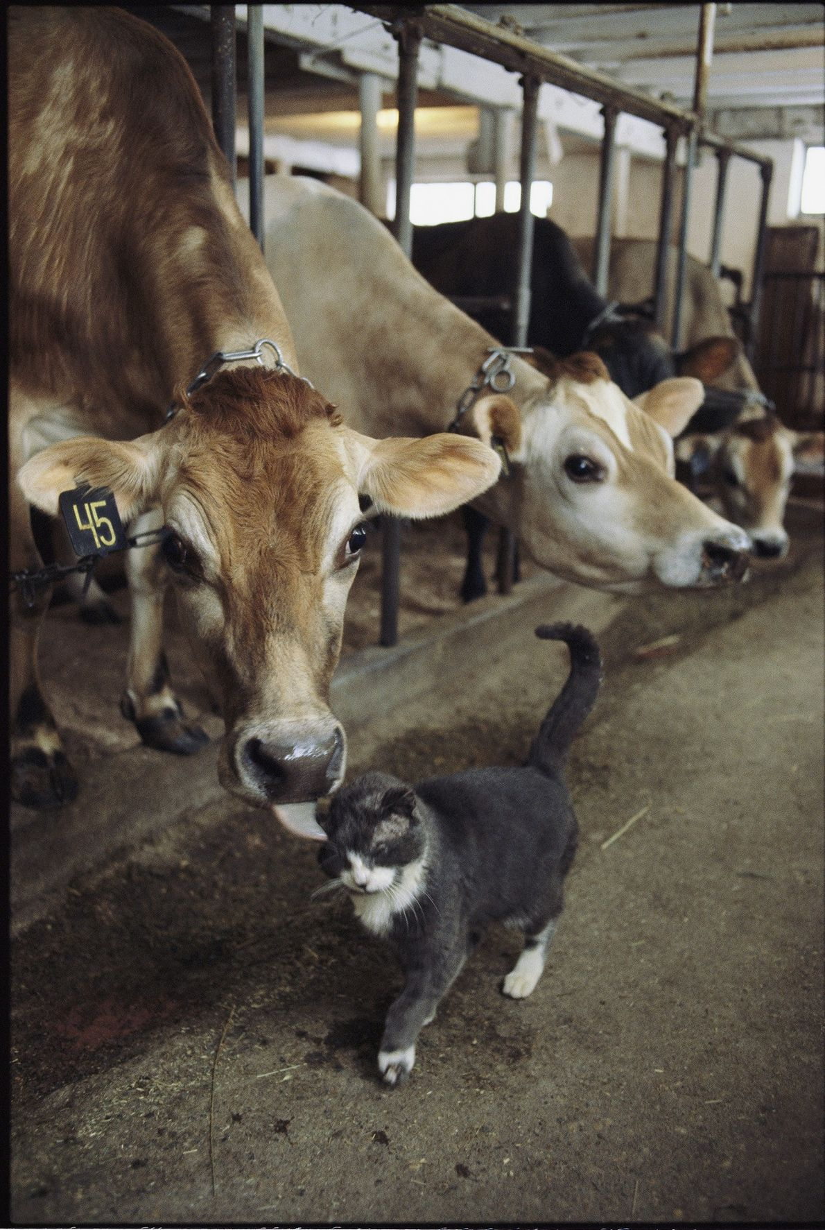 Got milk? A cat gets a kiss from a cow on a dairy farm in Massachusetts.