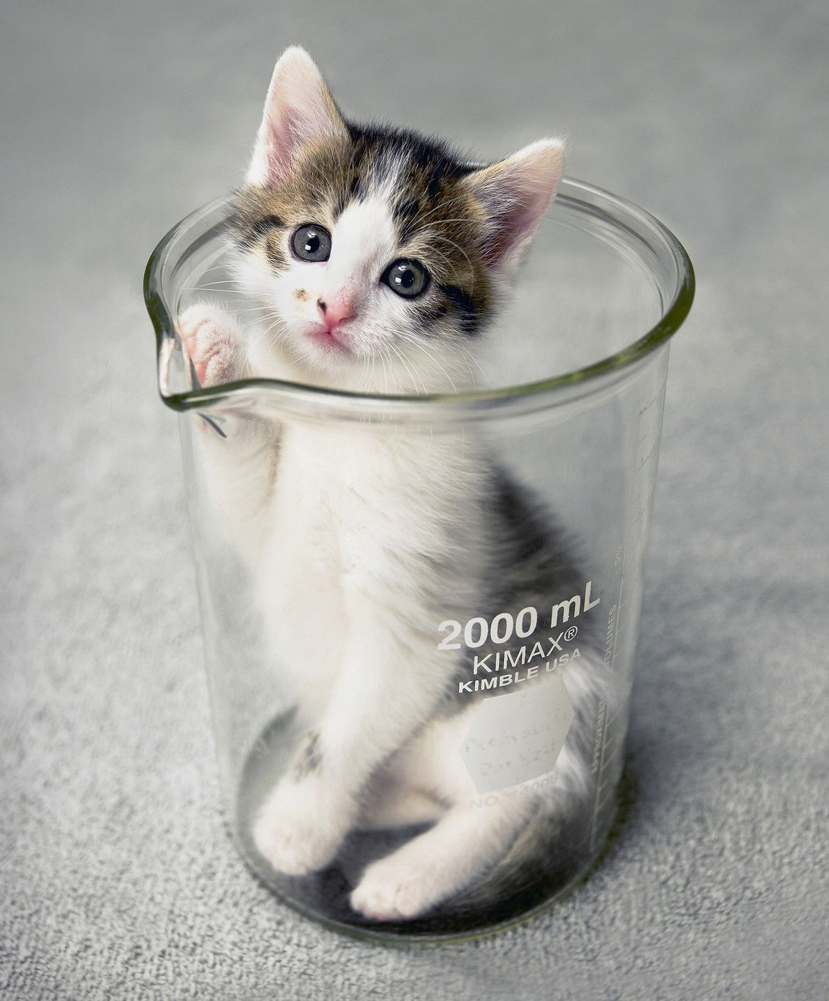 The world's first cloned cat peeks its head out of a beaker at Texas A&M University ...