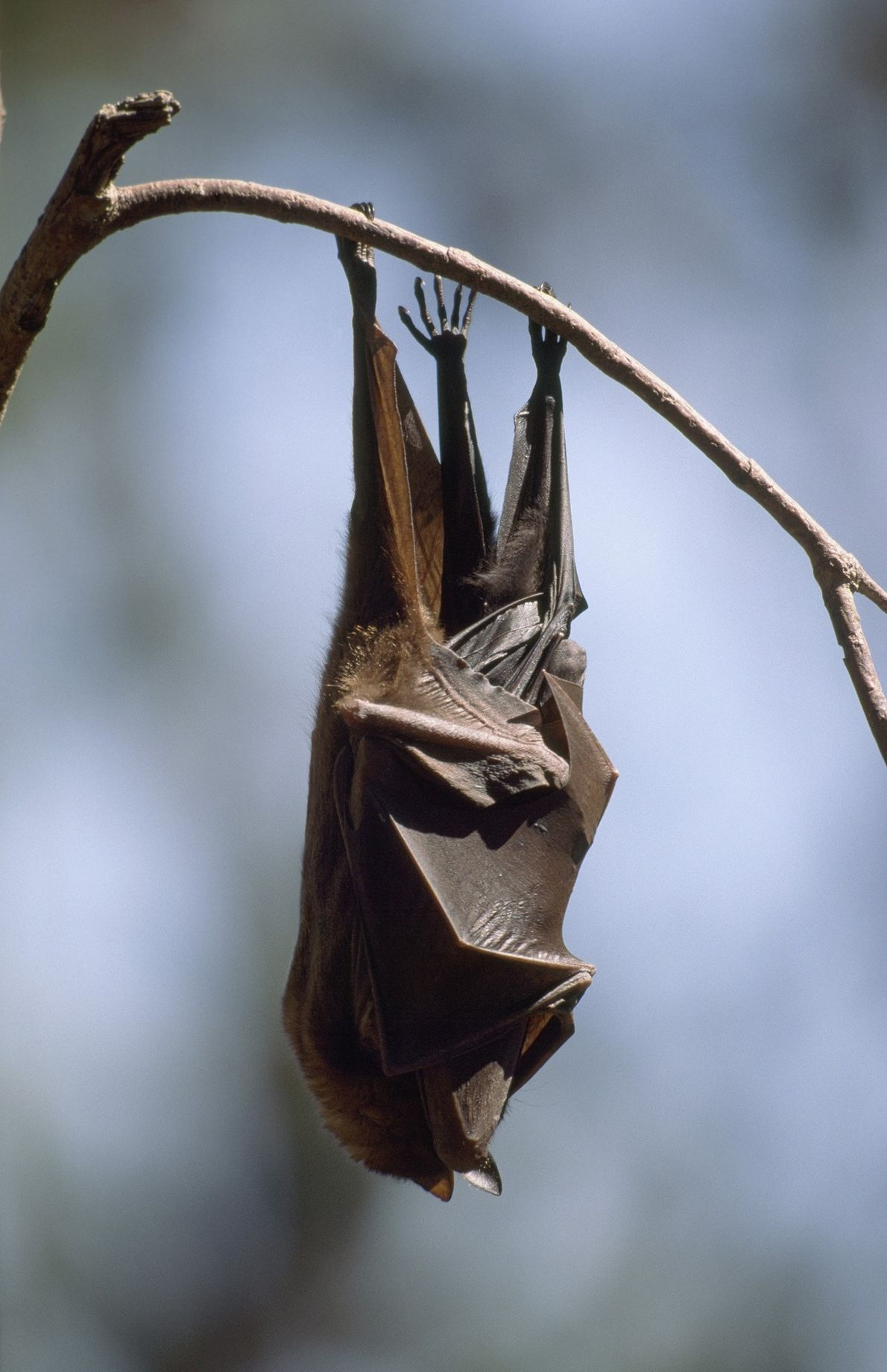 A flying fox hugs its baby tight beneath folded wings in Nitmiluk (Katherine Gorge) National Park ...