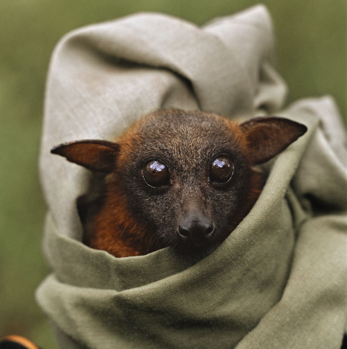 The little red flying fox is a type of bat native to Australia. Here one is ...