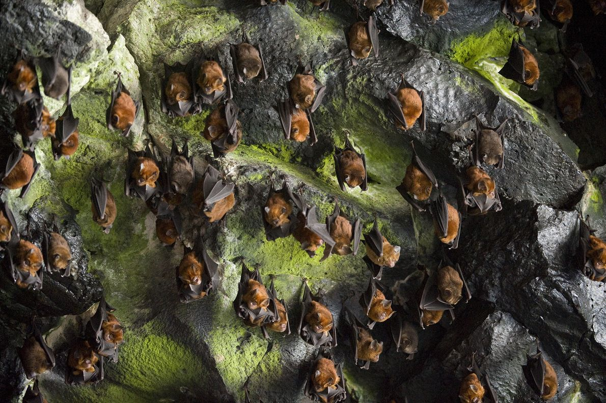 Noack's roundleaf bats huddle by the thousands in a cave on Bioko Island, Equatorial Guinea. This ...