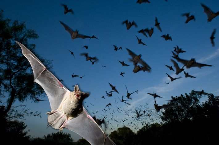 A Mexican free-tailed bat comes in for a close-up as it leaves its cave to hunt. ...
