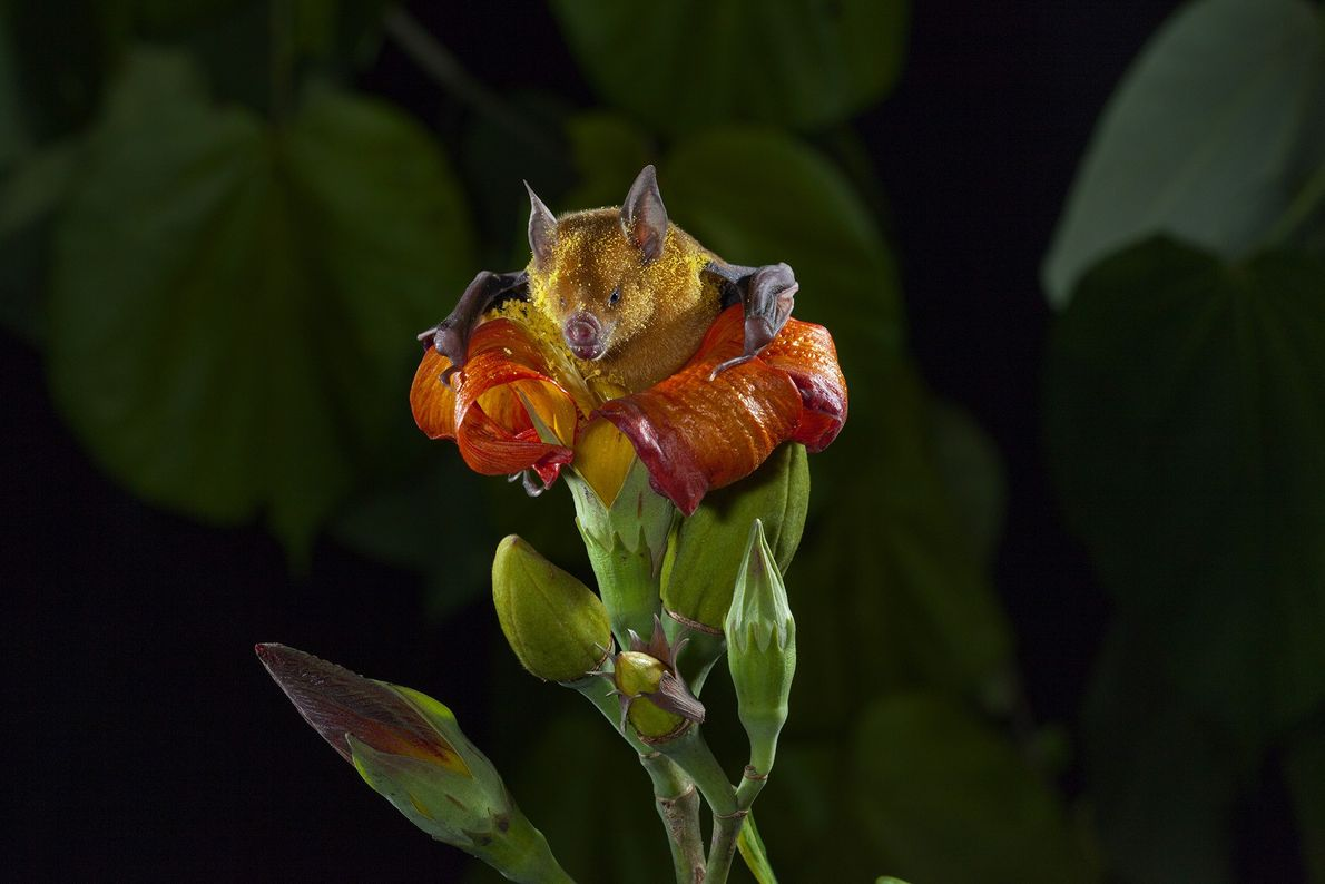A bat gets a fresh dusting of pollen while trying to eat the nectar of a ...