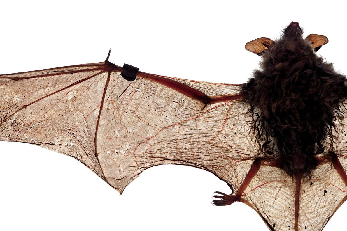 White-nose syndrome has ravaged the wings of this little brown bat. In just eight years, the ...